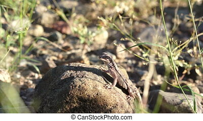 Lizard On Rock Handheld - Handheld, low angle, close to the...