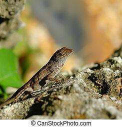 Lizard on stone, Fairchild tropical botanic garden, FL, USA