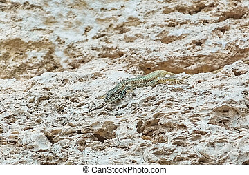 Lizard on Stone - Viviparous Lizard (Lacerta Vivipara) on...