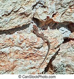 Lizard on the Rock - Viviparous Lizard (Lacerta Vivipara) on...
