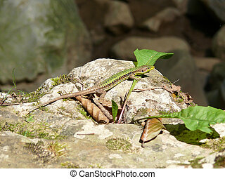 lizard on the rocks basking in the sun