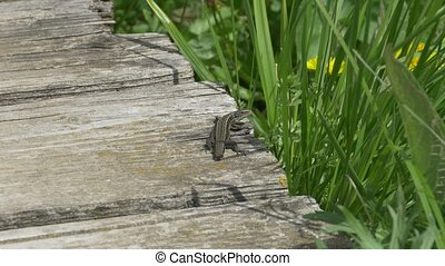 Lizard on Wood - A grass lizard laying on wood to the warmth...