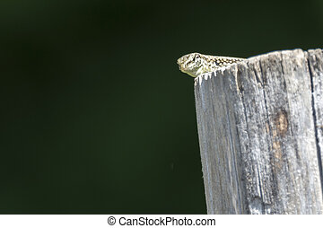 lizard on wooden fence