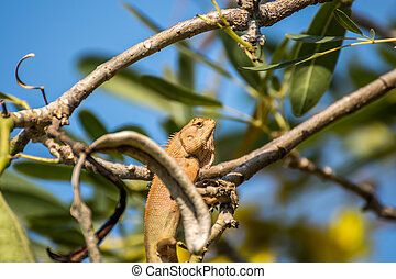 Lizard (Oriental garden lizard) on a tree