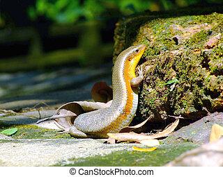 lizard (Podarcis hispanica)