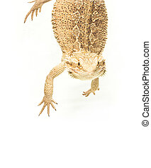 lizard pogona viticeps handing on tail on white background