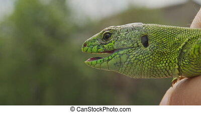 Lizard, Portrait of green headed agama lizard. Rwanda Africa. Stable footage. Closeup