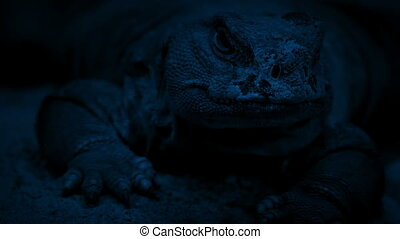 Lizard Resting At Night - Big old lizard rests in the dark