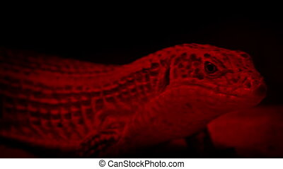 Lizard Resting Under Heat Lamp - Lizard in red light heat...