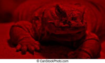 Lizard Resting Under Heat Lamp - Lizard in red light heat...