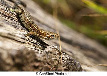 Lizard - side view - Viviparous lizard climbing on a wooden...