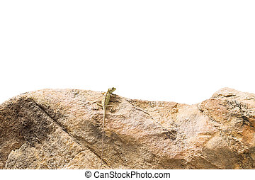 Lizard standing on a rock ,isolated on white background with Clipping path