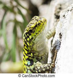 Lizard sunbathing on the rocks