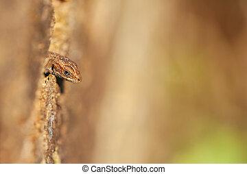 Lizard - tree hollow - Lizard - Zootoca-vivipara looking out...