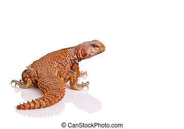 lizard (uromastyx) - Lizard (uromastyx) portrait on over...