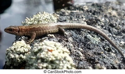 lizard warmed in sun on island - Mainland lizard sits on...