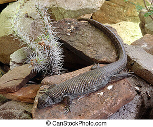 Lizard with long tail sits on rock