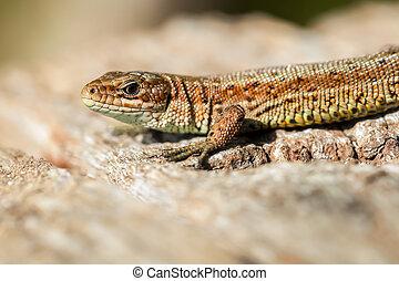 Lizard - wood - Lizard - Zootoca-vivipara on wood - macro...
