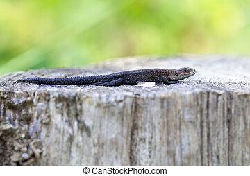 Lizard - wooden posts - Lizard - Zootoca-vivipara on a...