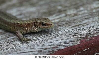 Lizard - Zootoca-vivipara in a macro shot