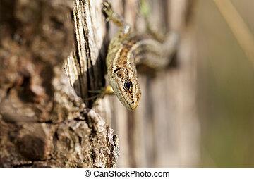 Lizard - Zootoca-vivipara - Viviparous lizard climbing on a...