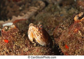 lizardfish, regarder dérobée