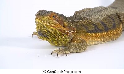 Lizards Bearded agama or Pogona vitticeps isolated at white background in studio. Extreme Close Up. Slow motion