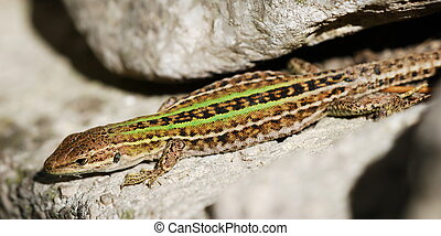 Lizzard - Mediterranean lizard on stone wall