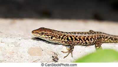 Lizzard on a wall - Mediterranean Lizard on a wall in the...