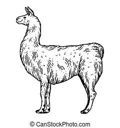 Llama animal engraving vector illustration. Isolated image...