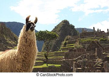 Llama at Machu Picchu - Machu Picchu in Peru, the lost Inca...