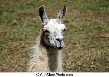 Llama Close Up - Close Up of a llama eatting grass