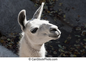 Llama - Funny close-up portrait of llama in zoo