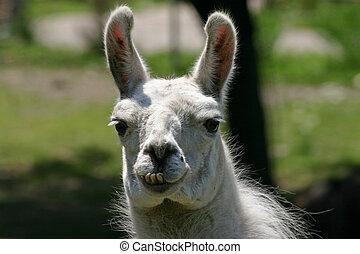 Llama - Funny-looking llama with bad teeth.