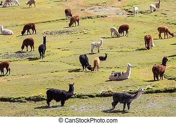Llama in Bolivia - Llama near bolivian village