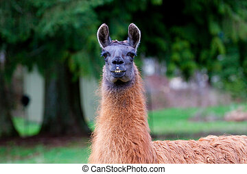 Llama in Field - A Llama grazes in a field of green grass in...