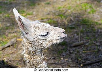 Llama (Lama glama) baby - Newborn white Llama (Lama glama)...