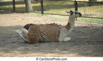 Llama lies in the shade and looks over the fence