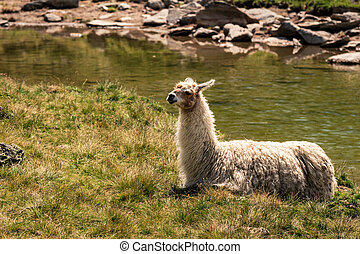 Llama lying down in the sun