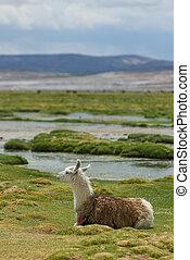 llama, mountains of bolivia, south america