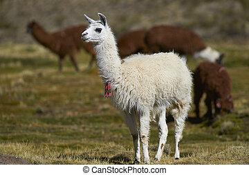 Llama on the Altiplano - Group of llama (Lama glama) and ...