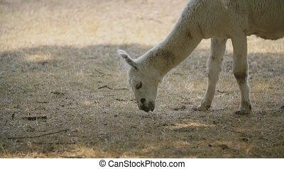 white llama plucks dried grass