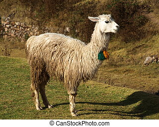 Llama portrait - Typical and funny south american mammal