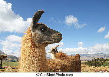 llama profile