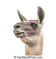 llama head isolated on white