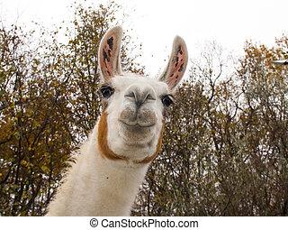 Llama - Adult male white Llama (Lama glama) portrait