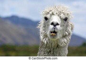 Llama - Portrait of a white lama in lamas farm.