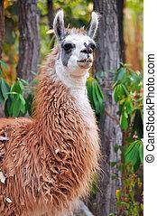 Llama - The llama is a domesticated South American camelid,...