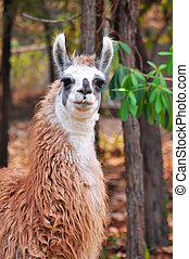 Llama - The llama is a domesticated South American camelid, ...