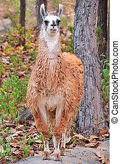 Llama - The llama is a domesticated South American camelid, ...